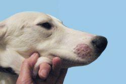 симптоми прљавштине код паса