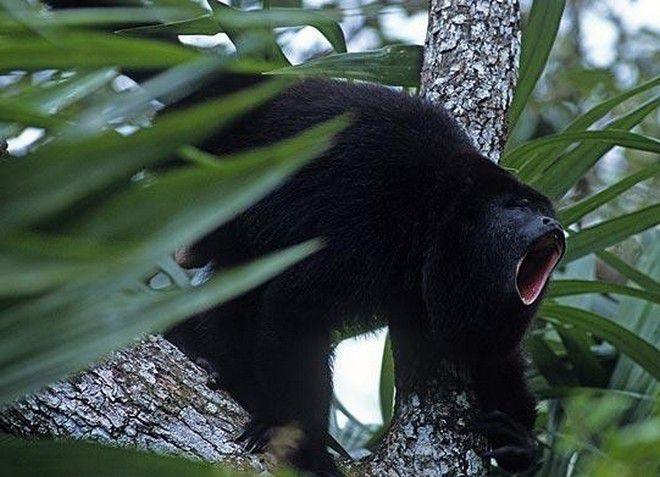 Черная обезьян-ревун - вымирающий вид, который можно встретить в заповеднике