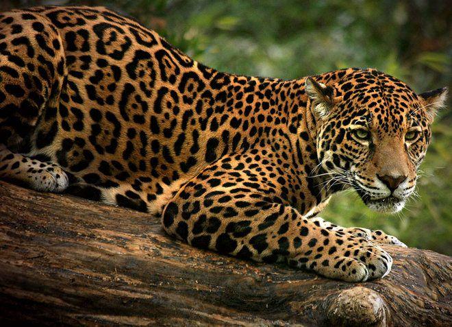 Ягуар - редкий представитель фауны, обитающий в заповеднике
