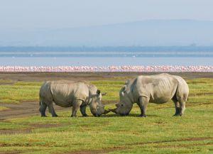 Носороги озеро Накуру