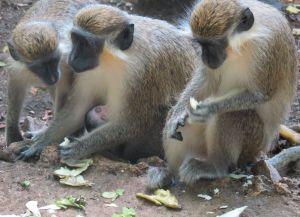 Редкий вид обезьян, обитающих в заповеднике живой природы