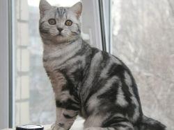 Skotská přímá kočka1