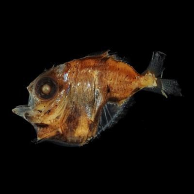 Рибе хекети
