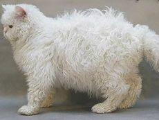 rasa kotów Selkirk Rex