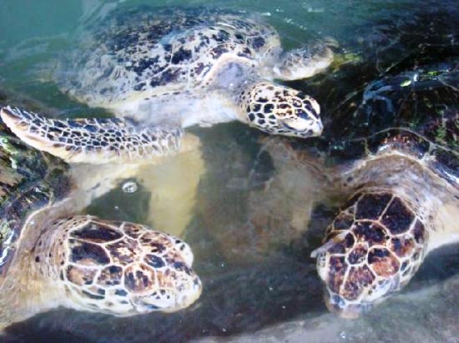Морские черепахи на Серенгане