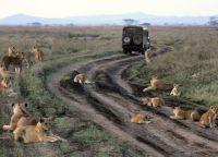 Львы не обращают внимания на автомобили