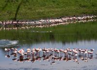 На озерах обитают фламинго