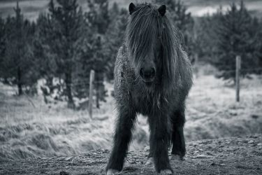 Пони в Сейдауркроукюр