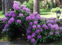 Cień kochający kwitnące krzewy