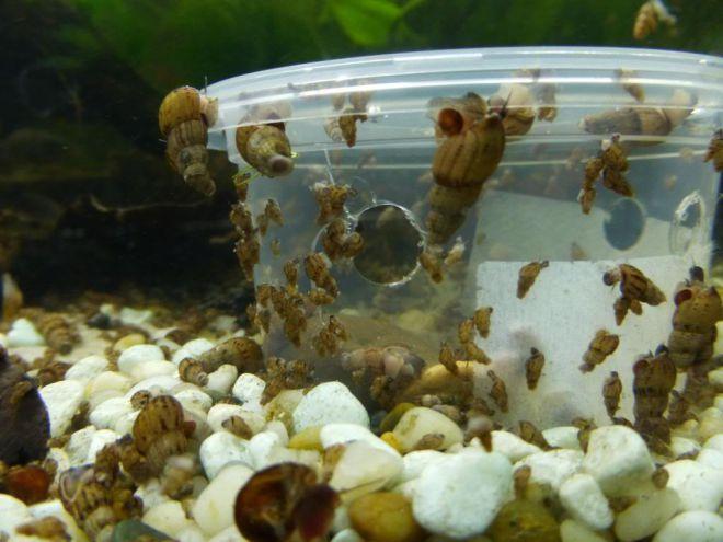 Мелании в аквариуме разведение