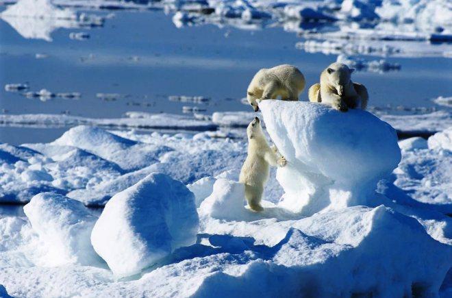 Белые медведи на Шпицбергене