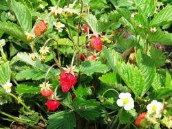 жълтеникава ягоди