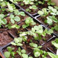 засаждане на семена от реконструирани ягоди