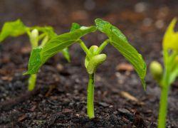 rośnie zielona fasola w otwartym terenie