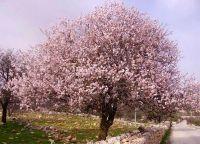 Миндальное дерево в цвету