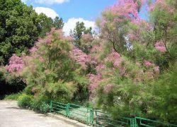 krzew tamarix