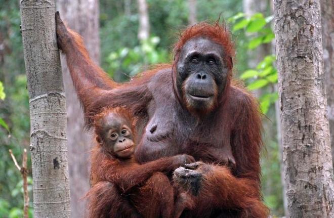 Орангутанги - главные жители заповедника и его символ