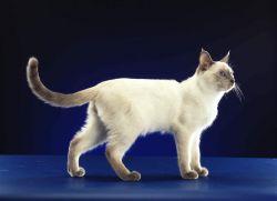 Тајландски мачак