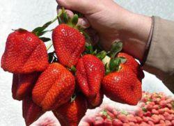 wielkogabarytowe truskawki