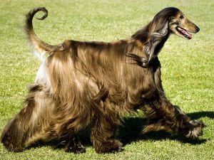 Греихоунд раса паса2