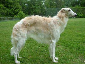 Бреја пасова паса3