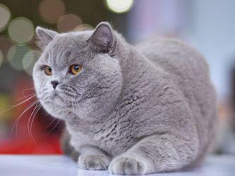 Razlika med britanskimi in škotskimi mačkami 1