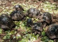 Молодые черепахи содержатся в специальной резервации