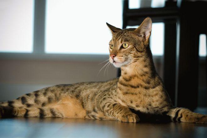 Највећа домаћа мачка на свету 1