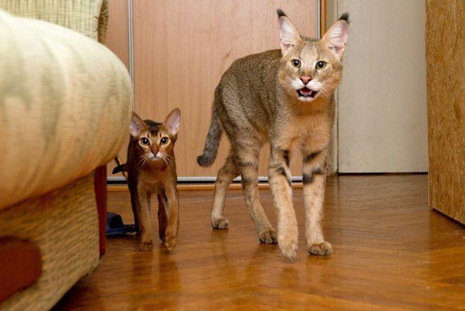 Највећа домаћа мачка на свету 2