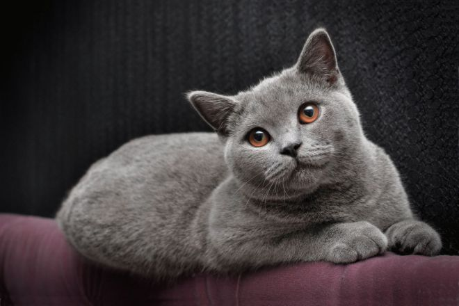 Највећа домаћа мачка на свету 5