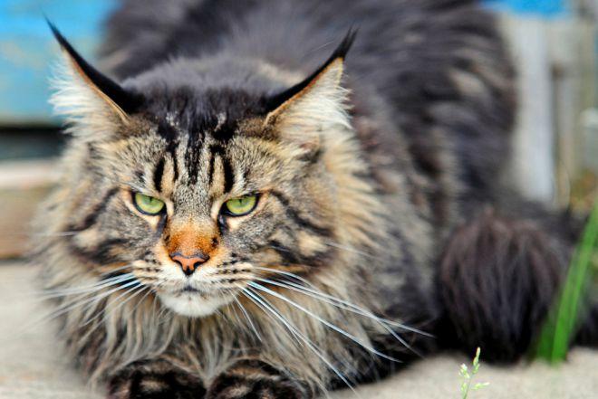 Највећа домаћа мачка на свету 4