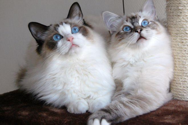 Највећа домаћа мачка на свету 3