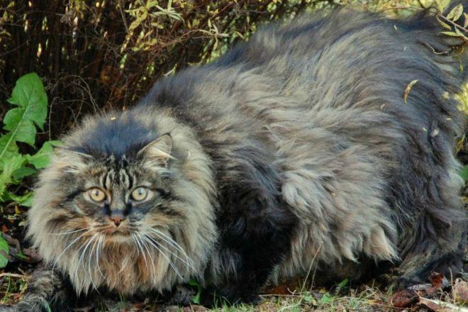 Највећа домаћа мачка на свету 7