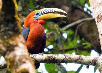 Непальский калао - птица, находящаяся на грани вымирания
