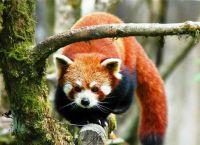 Малая панда, обитающая в заповеднике Торса