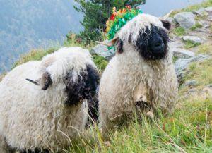 Украшение овец в день спуска с пастбищ