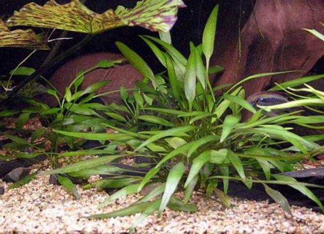 врсте акваријумских биљака2