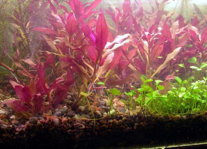врсте акваријског биља5