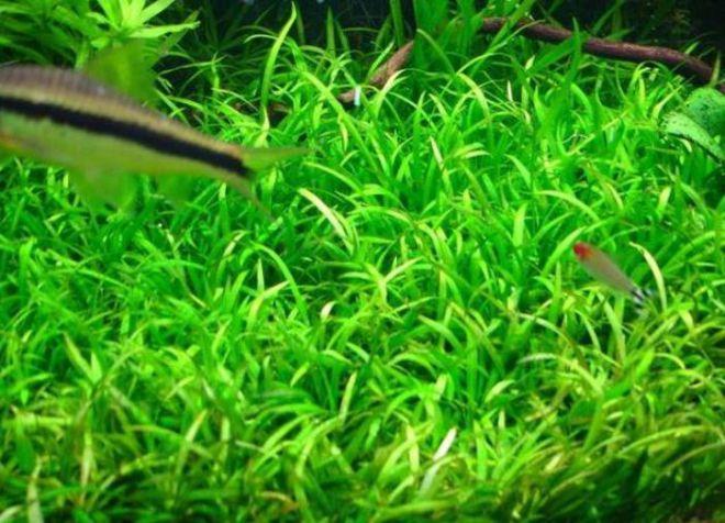 врсте акваријумских биљака7