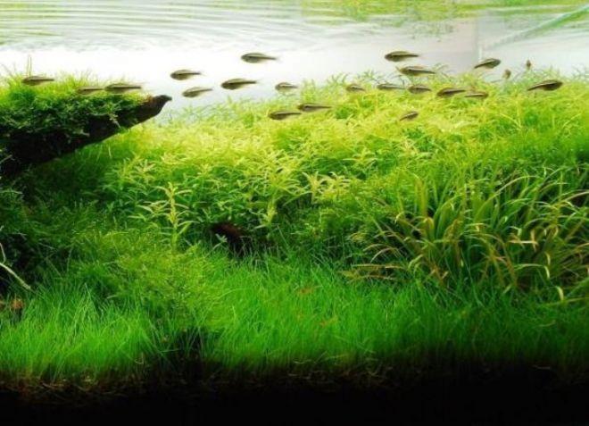 врсте акваријског биља9