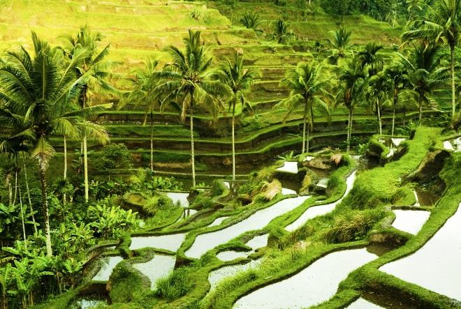 Рисовые поля и террасы Убуда