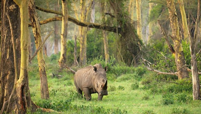 Носороги в Уджунг-Кулон