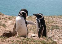 Пингвины Магеллана