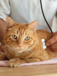 Вазелин уље за запртје код мачака1