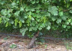 nawadnianie kropelkowe winogron