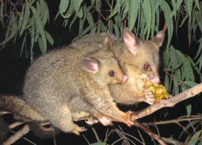 Które zwierzęta mieszkają w Australii 3