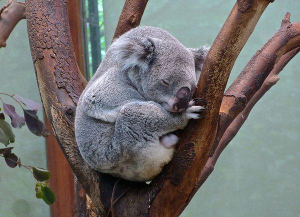 Które zwierzęta mieszkają w Australii 6