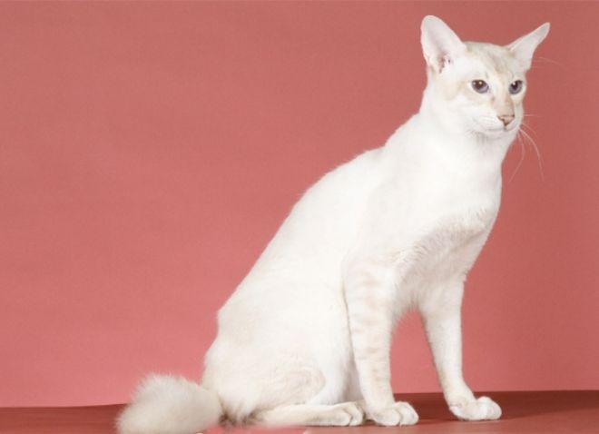 Które koty nie są uczulone? -7_0