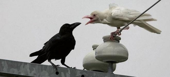 wyraz białej wrony