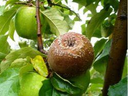 prokletstvo jabuka